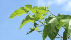 しっかり健康維持できる!桑の葉茶の5つの効能と飲み方