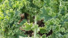 腸美人で免疫力アップに!今話題の優れた食材、ケールの効能とレシピ